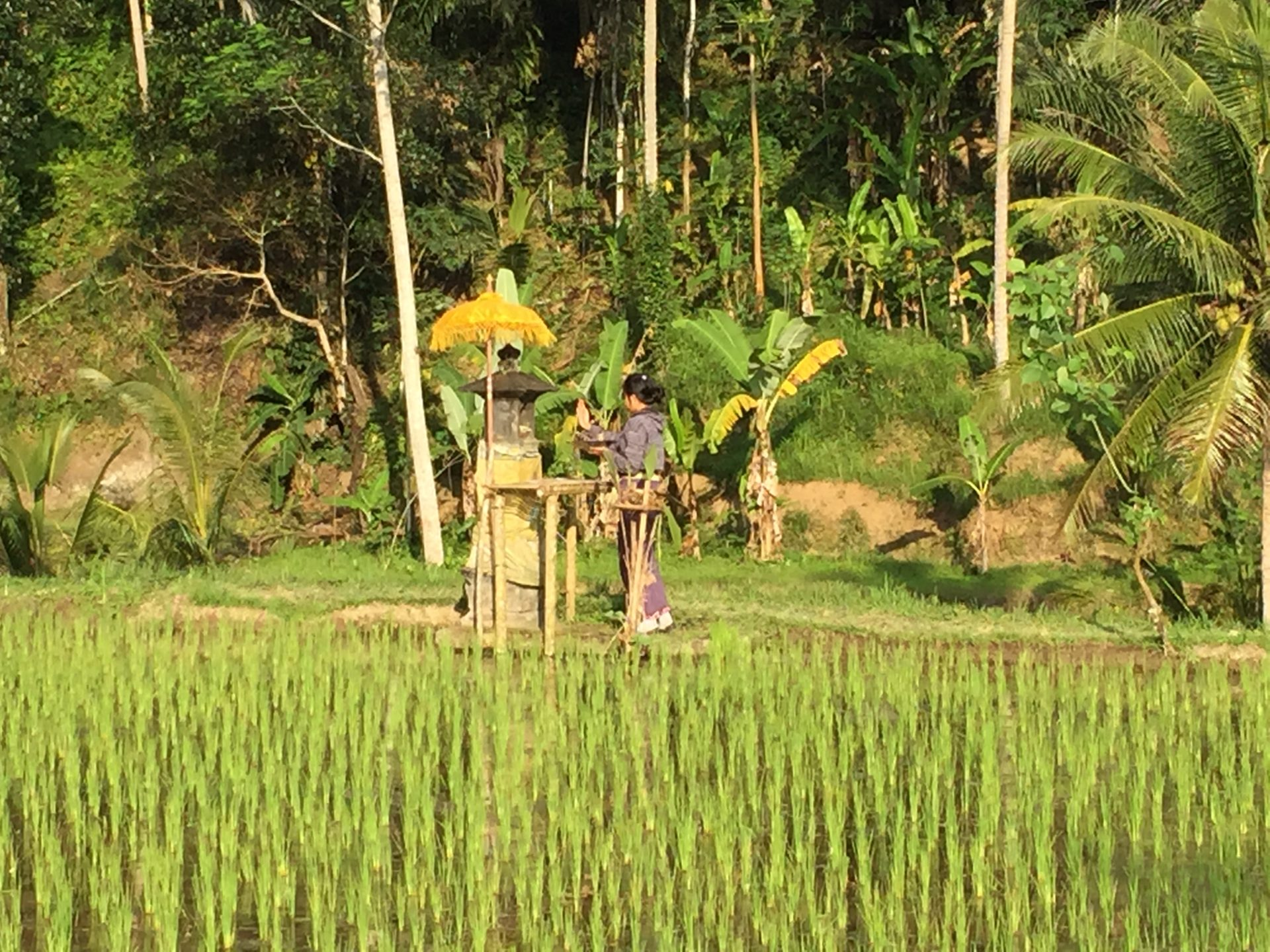Rice field on Bali