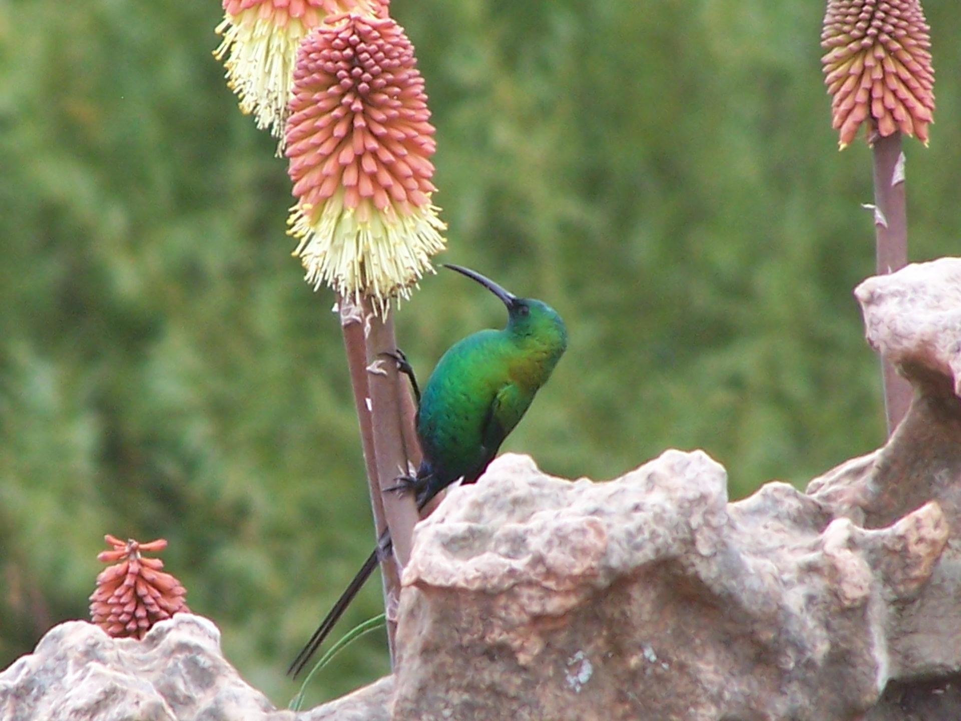 malachite sunbird, Sehlabathebe, Lesotho